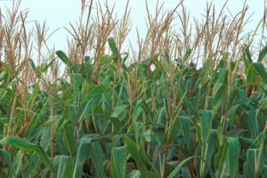 Corn and Climate Variability