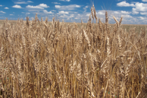 Wheat and Climate Variability